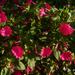 Album - Egynyári-Kétnyári virág