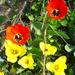 tulipánok meg egyebek :)