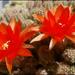 Gyűjtemény - Kaktusz és virága