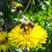 Amikor megcsillan a tavaszi napsugár a szorgos méhecske szárnyán