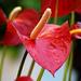 flamingóvirág2