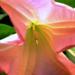 Rózsaszín trombitafa
