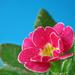 Pink tavasz