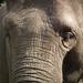 Elefántportré