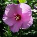 hibiszkusz, pollenes