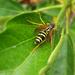 rovarok, vadászó darázs