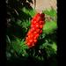 különleges növények, egy ismeretlen piros fürtös
