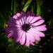 napvirág, egy szép lila