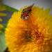 kísérletek, napraforgó pillangó
