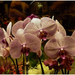 Orchidea - 2.